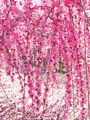 Weeping Ume blossoms. 枝垂れ梅