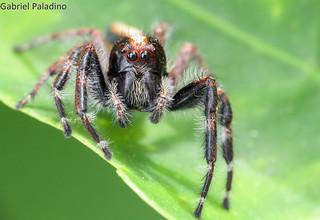 Big Salticidae (2.5cm)