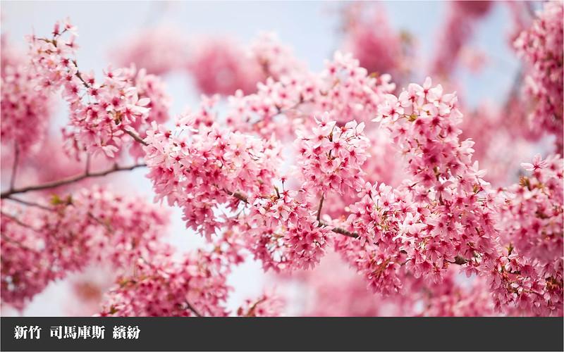 司馬庫斯  盛開的櫻花
