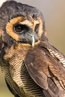 Asian Wood Owl - Falconry Centre UK Thirsk Birds of Prey Centre