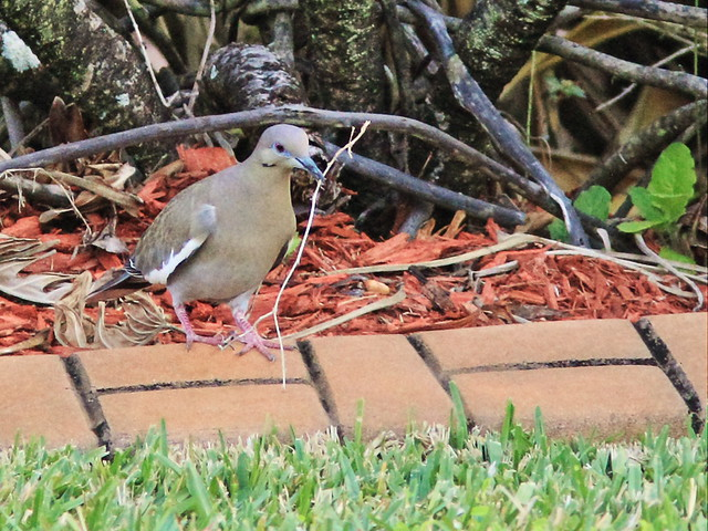 White-winged Dove gathering twigs 20150305