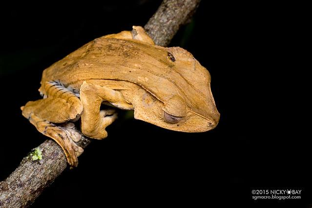 File-eared tree frog (Polypedates otilophus) - DSC_2802