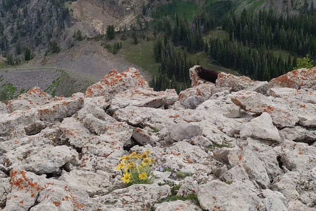 Spotting a marmot while walking around Mt Rendezvous