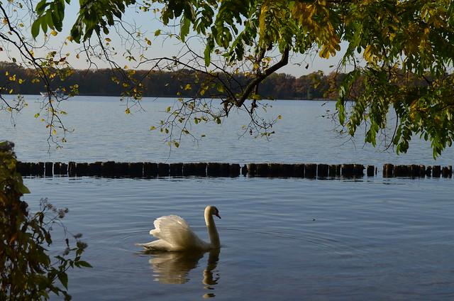 Jungfernheide Forst Berlin_ swan in Tegeler See lake