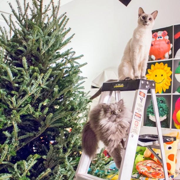 Really great helpers. Xanadu has taught Goblin so many things. #xanadu #siamesecat #siamese #friends #bff #goblin #cats #cat #persiancat #Persian #fluffy #fluffball #kitten #furry #catsofinstagram #greycat #persiancatsofinstagram #meow #petsofinstagram
