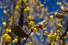 道際に咲く蠟梅