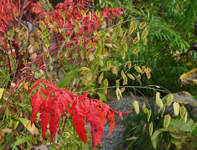 Rhus glabra 'Lanciniata' and Chasmanthium latifolium