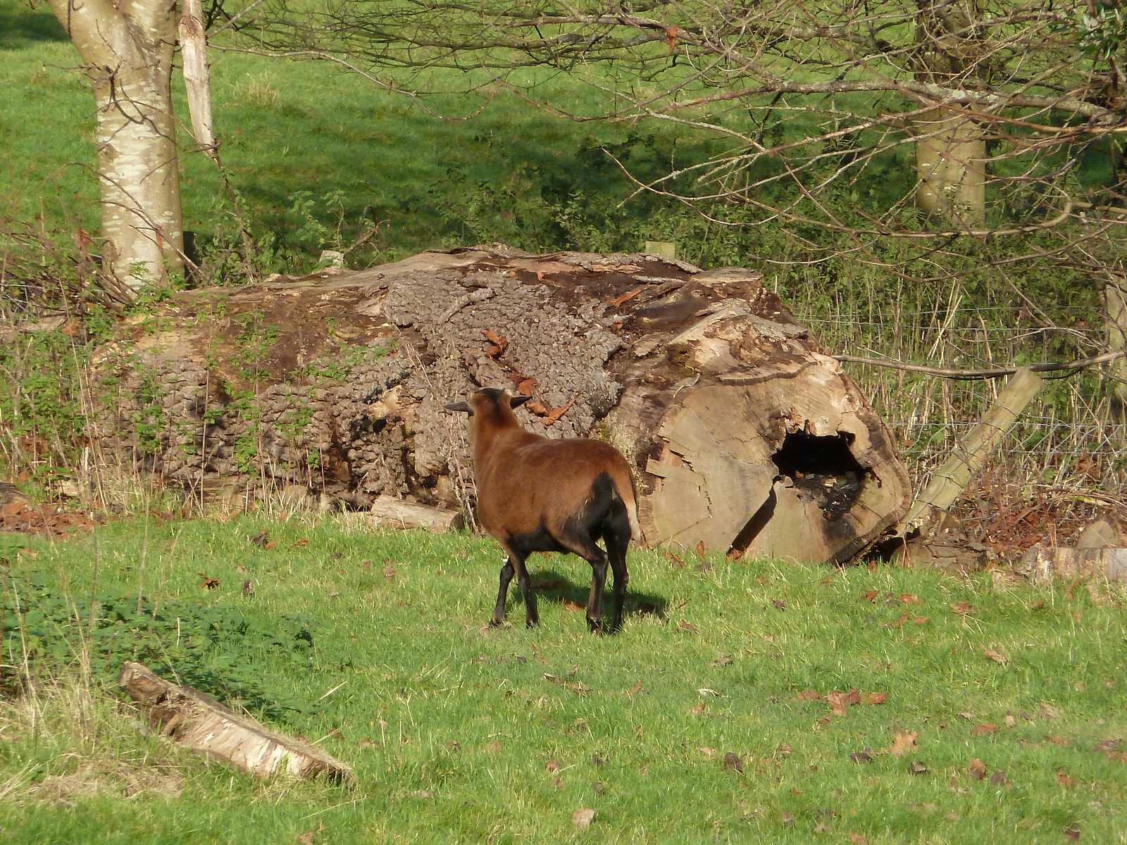 Unusual Sheep (Eridge Circular)
