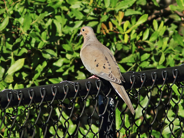 Mourning Dove on fence 20141208