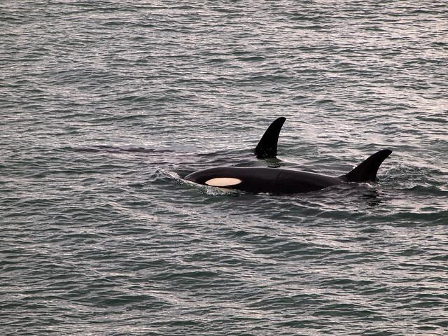 Wild orcas in Alaska