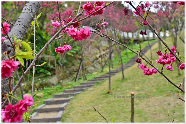 內湖碧山巖櫻花步道白石湖採草莓002-DSC_6265