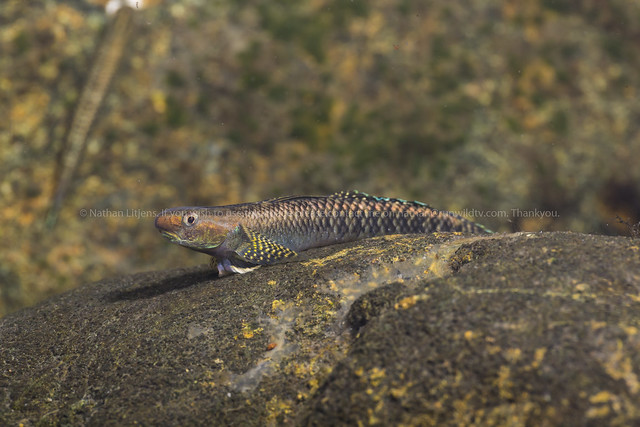 Male Black cling goby (Stiphodon atratus)