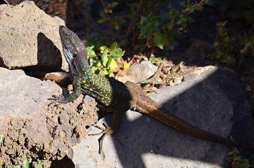 Tenerife lizard, north Tenerife, Tenerife