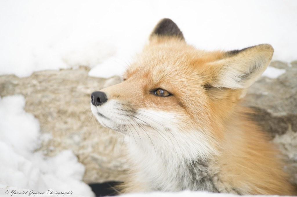 Foxe Renard Roux