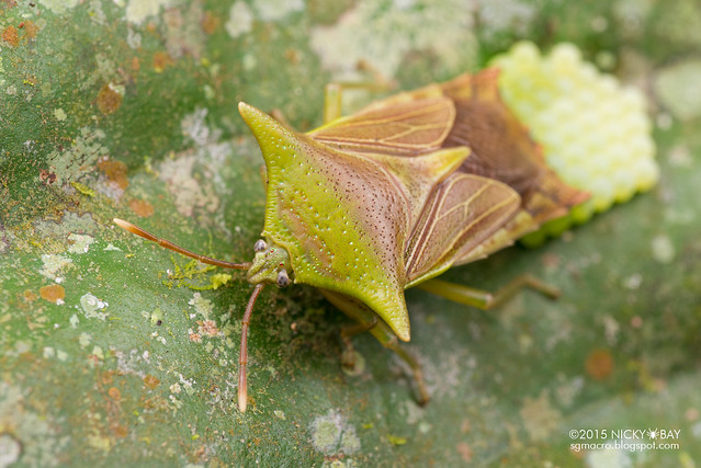 Giant shield bug (Tessaratomidae) - DSC_3176