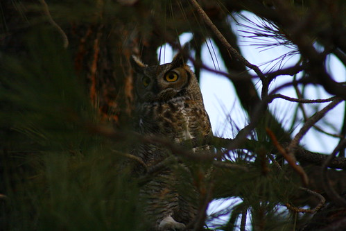 Holly Way Great Horned Owl