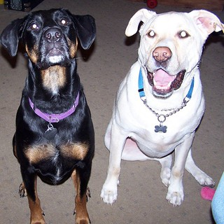 #TBT Zeus & Lola 2007 way before #megaesophagus and #Osteosarcoma #ilovemydogs #ilovemyseniordog #ilovebigmutts #mybabies #throwbackthursday