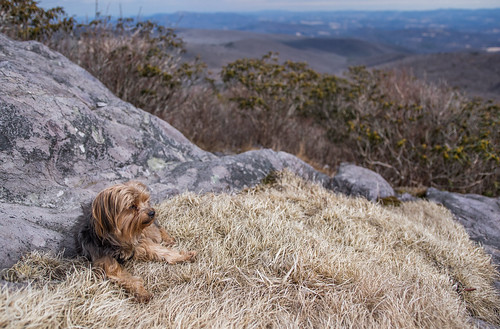 virginia yorkshireterrier appalachiantrail graysonhighlandsstatepark wilburnridge mountrogersrecreationarea dogsthathike