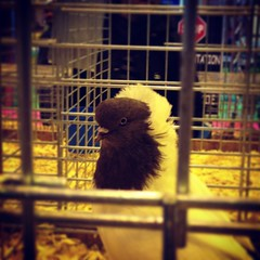 Also, today at the Salon de Agriculture in #Paris, I met a pigeon that looks like Mr. Burns from The Simpsons.