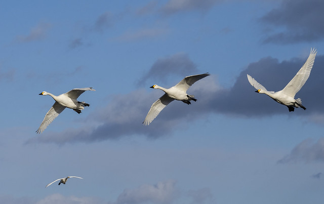 bewick swans 445 (114)