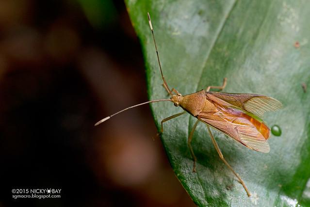 Plant bug (Miridae?) - DSC_3144