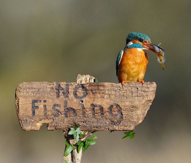 Kingfisher on No Fishing sign !