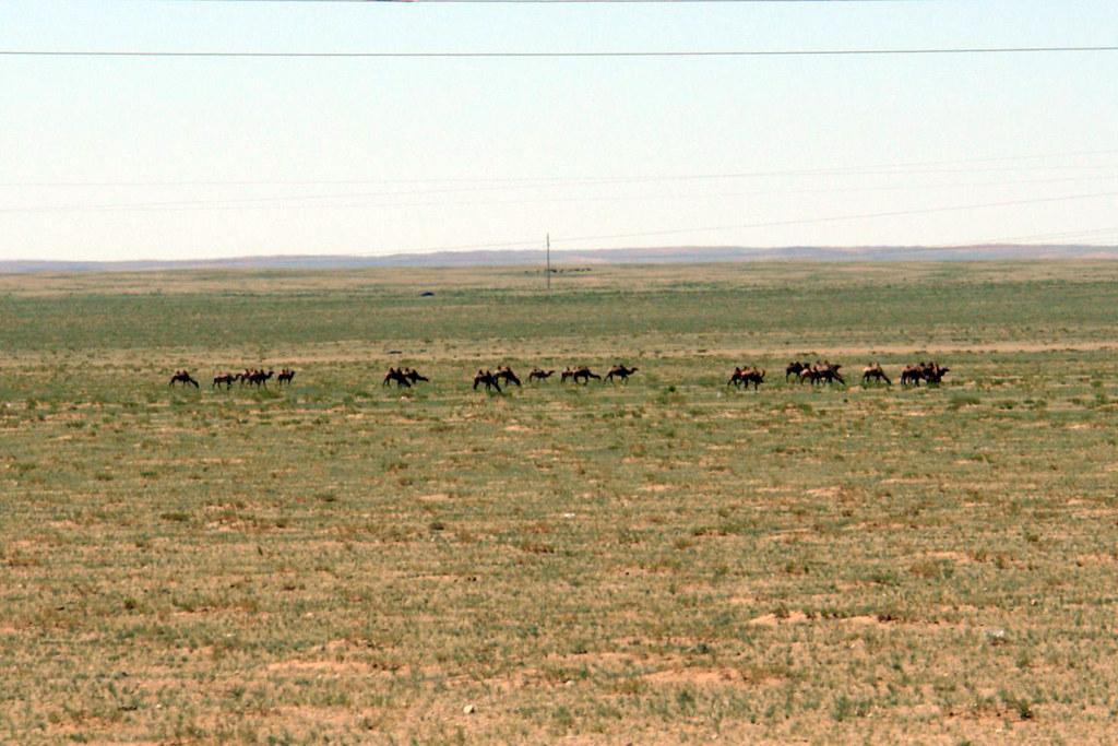 Camellos salvajes del desierto