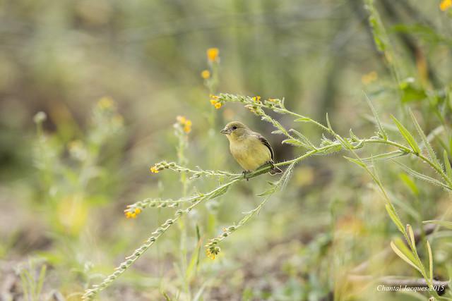 Goldfinch, Tonto National Forest, Maricopa County, Arizona