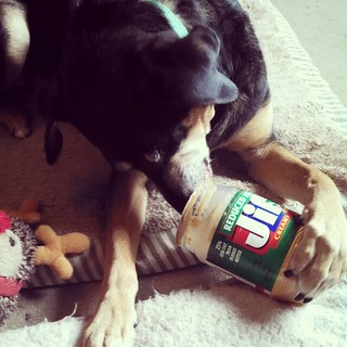 Got Jif? Tut does and he isn't sharing. #peanutbutter #dogstagram #happydog #seniordog #coonhoundmix