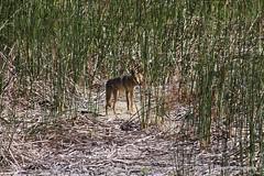 A skinny urban coyote