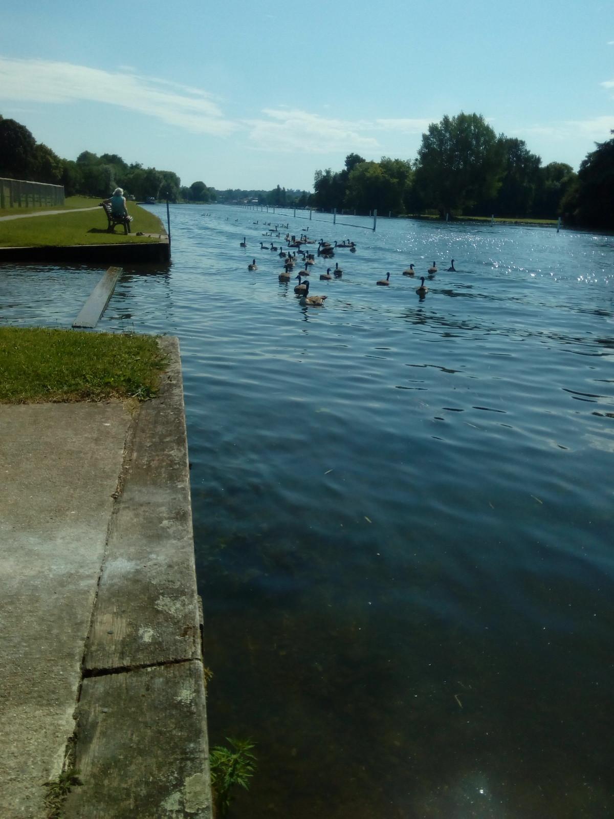 Canadian Geese regatta