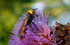 Scolie des jardins (Megascolia maculata) , Lit-et-Mixe, Aquitaine, France