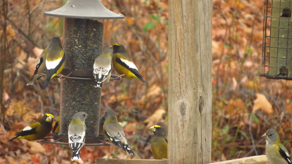 Flock of Evening Grosbeaks at our feeder!