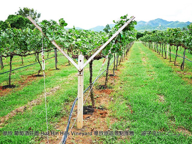 華欣 葡萄酒莊園 Hua Hin Hills Vineyard 華欣旅遊景點推薦 99
