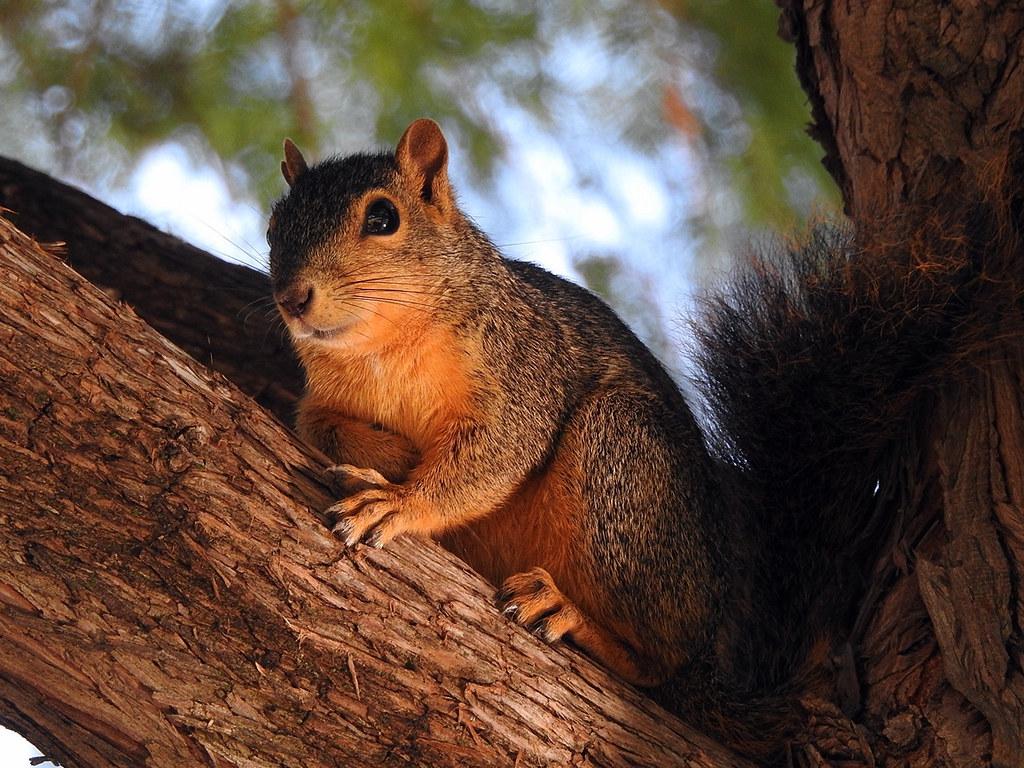 DSCN2007 Fox Squirrel