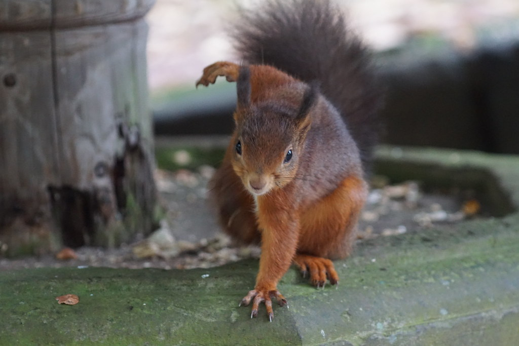 Bowling Red Squirrel. Shap Forest, Cumbria