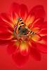 Small Tortoiseshell butterfly on dahlia flower