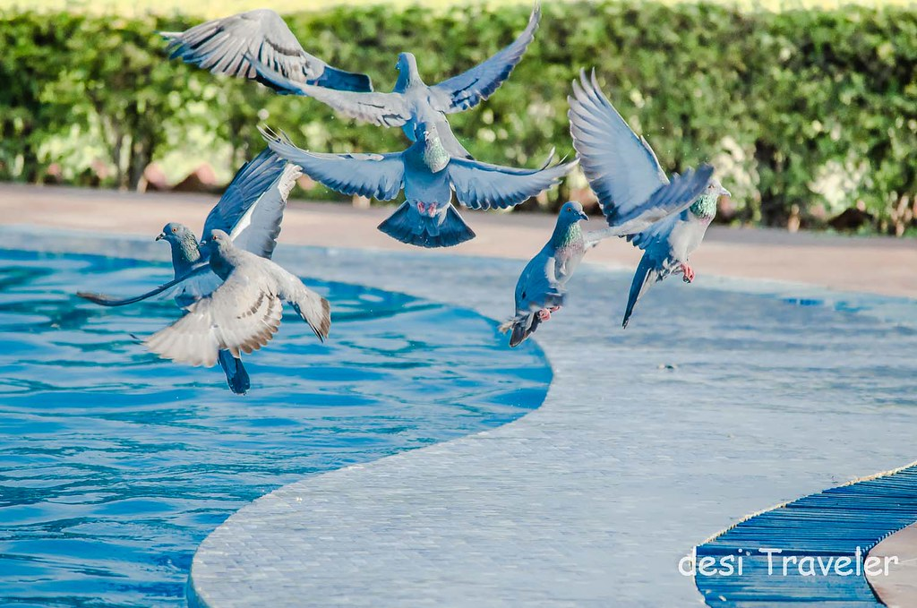 Pigeons at swimming pool