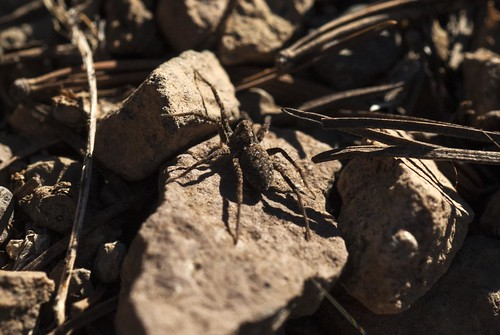california wolfspider arthropod araneae lycosidae modoccounty pattersonlake southwarnerrange