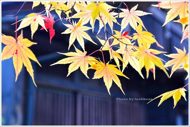 秋田角館武家屋敷楓紅011-DSC_4566