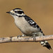 Downy Woodpecker, female by asparks306