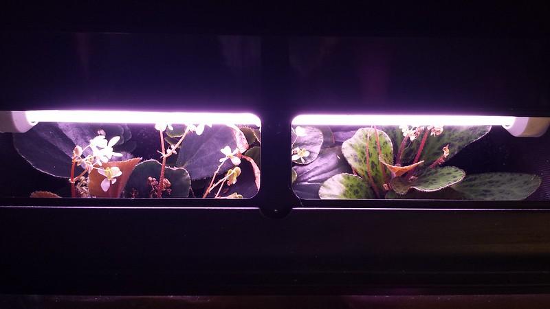 Petite collection de Begonia 16050358690_40048279bf_c