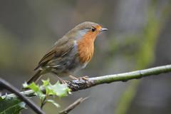 Angry Robin