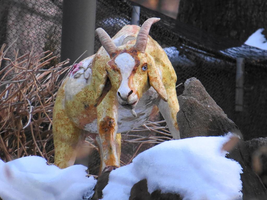 Goat, Central Park Zoo