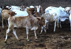 Ter, 20/01/2015 - 04:16 - Species name: Cattle (photo credit: ILRI).