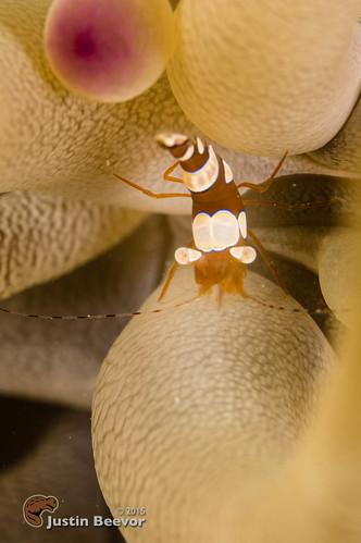 macro underwater shrimp caymanislands grandcayman eastend caribbeansea britishwestindies sunsetreef oceanfrontiers inonz240 subsee10 nauticam alexmustardworkshop compasspointdiveresort sonynex6 zeisstouit
