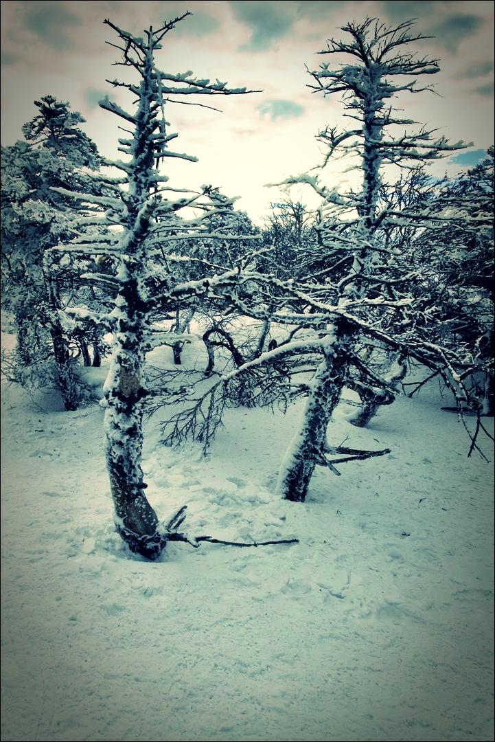 구상나무 숲-'한라산 영실코스 Hallasan youngsil trail'
