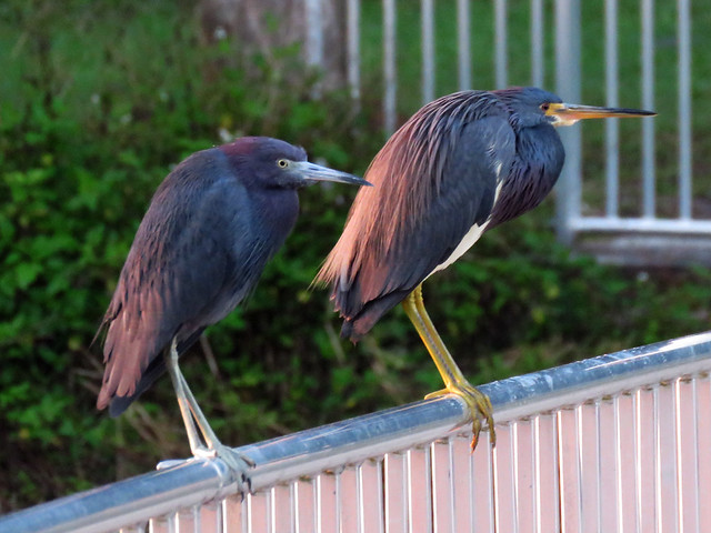 Little Blue, Tricolored Herons