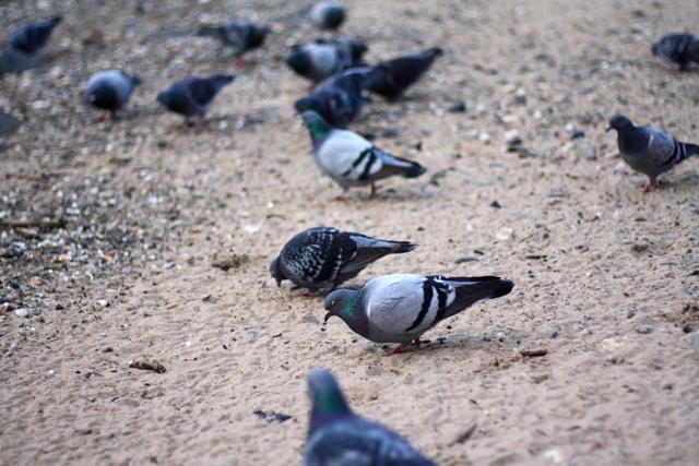 Pigeons on the river bank, Bonn