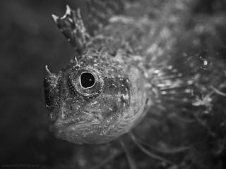Black-faced blenny, Gelber Spitzkopf-Schleimfisch (Triptergion delaisi)